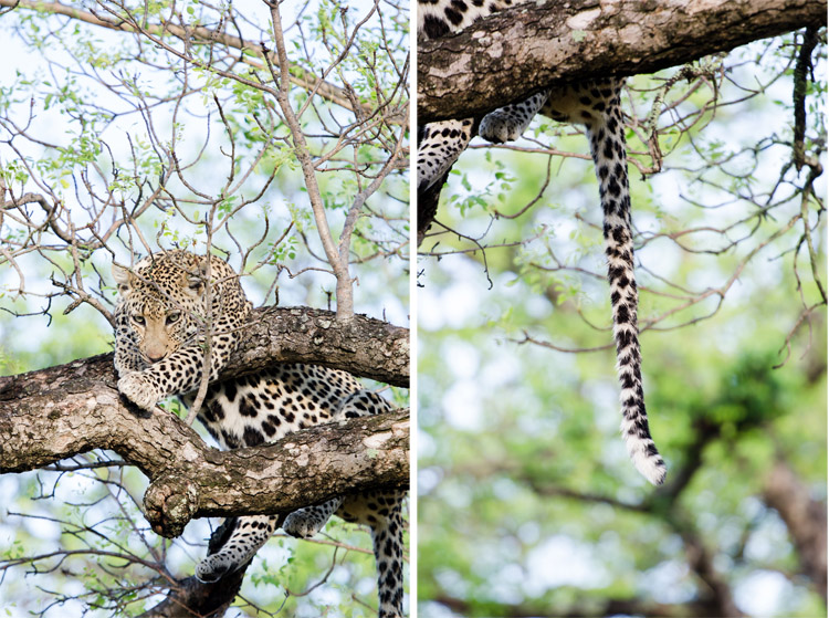 londolozi-blog-collage9